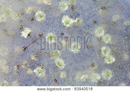 Frozen Flora, Gypsophila