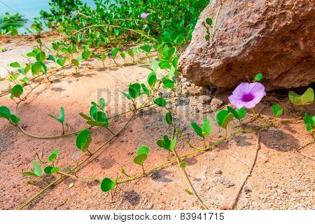 Beach Tropical Flower Growing In The Sand