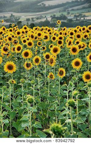 Field Full Of Sunflowers
