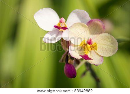 Spathoglottis Plicata Orchid Flower