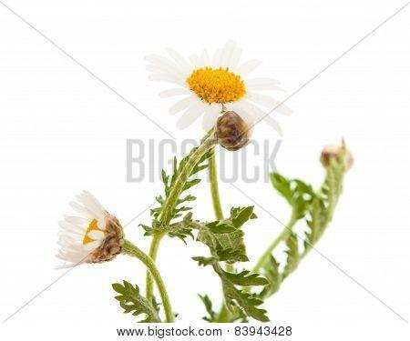 Argyranthemum Adauctum