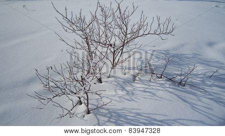 Winter shrub