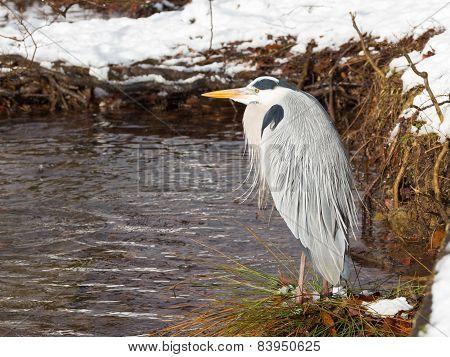 Beautiful Gray Heron