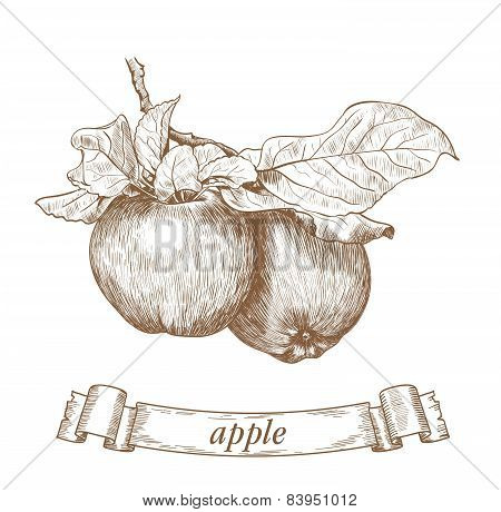 two apples on a branch