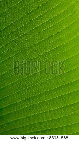 Detail Of Banana Leaf, Close-up