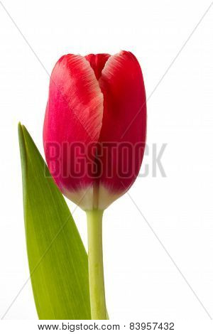 Beautiful red tulip flower on white