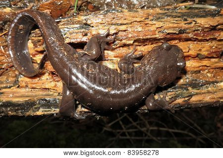 Northwestern Salamander at Night