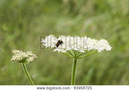 Bee Resting On Wild Flower
