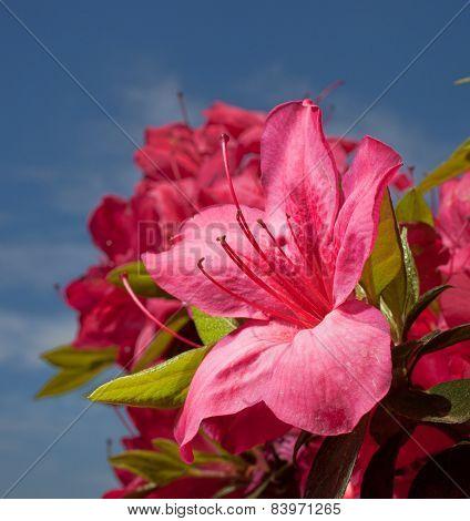 Pink Azalea In Bloom