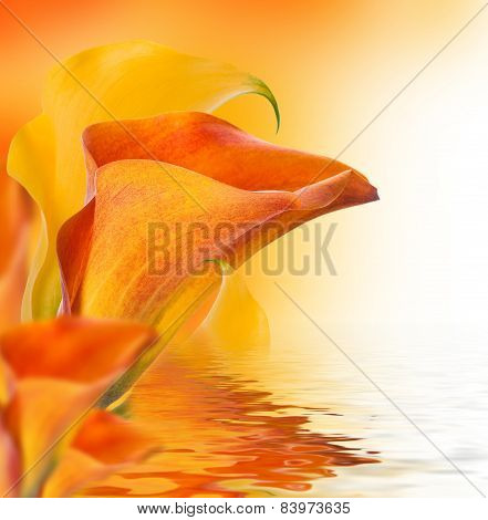 Bright buds callas and water, floral background