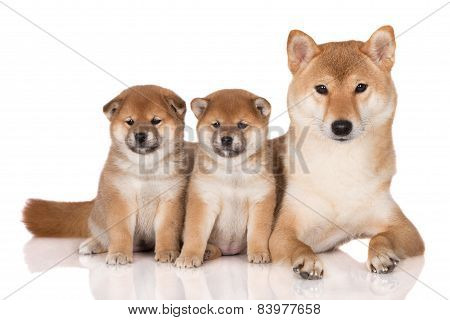shiba inu dog with two puppies