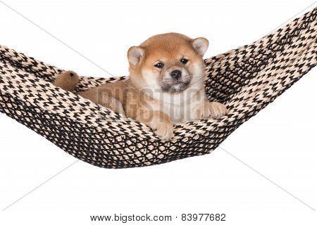 shiba inu puppy in a hammock