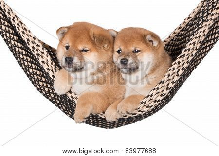 two adorable shiba inu puppies
