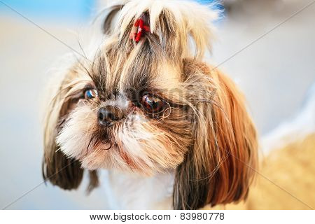 Cute Shih Tzu White Toy Dog