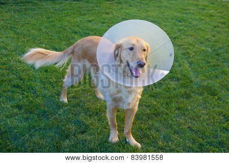 Golden Retriever Dog with Cone