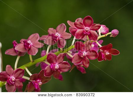 Fragrant Red Orchid ;vanda Orchid, Vandachostylis Colmarie