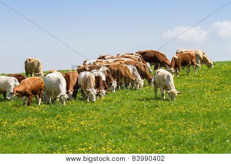 Herd Of Cows At Spring Green Field