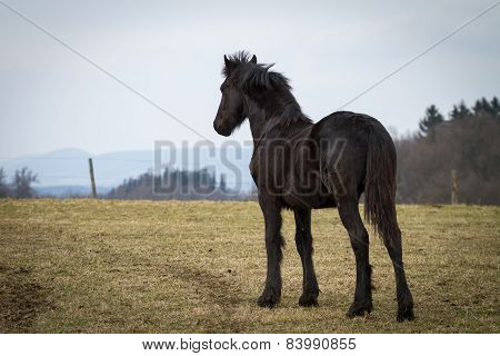 Beauty Foal - Friesian Horse Stallion