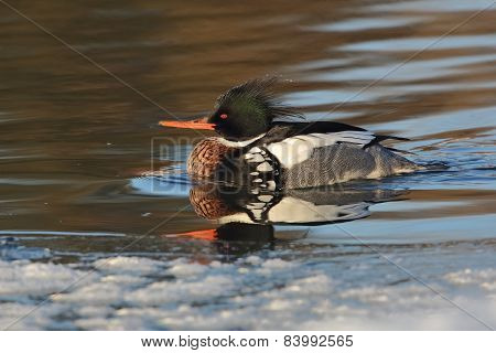 Male Red-breasted Merganser (mergus Serrator ) On A Partially Frozen River
