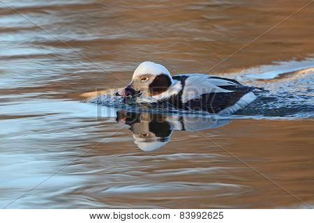 Male Long-tailed Duck (clangula Hyemalis) In Winter Plumage