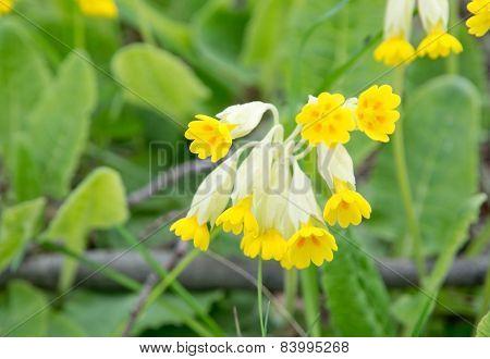 Yellow primula veris or key flower