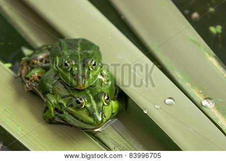 Pair of frogs during mating