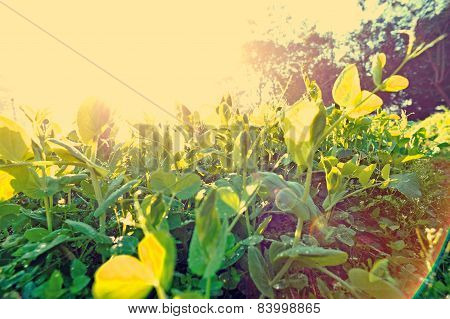 green pea crops in growth at vegetable garden