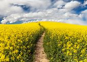 stock photo of turnip greens  - Field of rapeseed with rural road and beautiful cloud (brassica napus) - plant for green energy and green industry