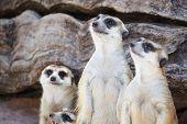 foto of meerkats  - alert meerkat  - JPG
