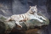 pic of white tiger cub  - White bengal tiger lying relax and watching on cliff - JPG