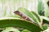 picture of lizards  - garden fence lizard  - JPG
