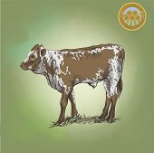 picture of cattle breeding  - young bull  grazing cattle vector sketch on a green background - JPG