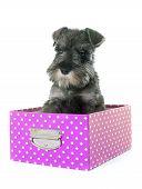 picture of schnauzer  - puppy Miniature Schnauzer in front of white background - JPG