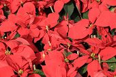 picture of poinsettia  - closeup of yellow poinsettia Christmas flower in garden