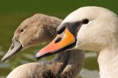 stock photo of mother goose  - Family swan  - JPG
