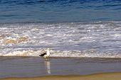 picture of ipanema  - Seagull walking on Devil beach border in Ipanema - JPG