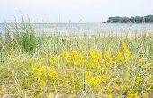 image of vegetation  - Sandy beach and vegetation yellow flowers by the Baltic sea in Ahus Sweden - JPG