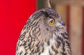 image of eagle  - The Eurasian eagle - JPG