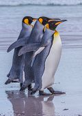 stock photo of three kings  - Three King Penguins stroll along the beach with the eye of the nearest looking at the camera - JPG