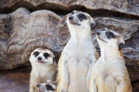 stock photo of meerkats  - alert meerkat  - JPG