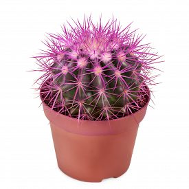 pic of spiky plants  - cactus planted in a flower pot isolated on white background - JPG