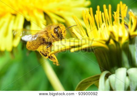 the bee collecting pollen