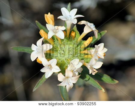 A Large-flowered Collomia Blooming in the Desert