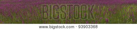 Smolka Meadow Flowers Grow On Large Meadow (panorama)