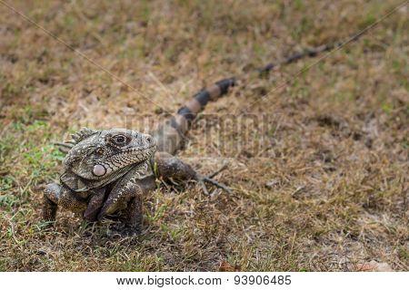 St. Croix Iguana