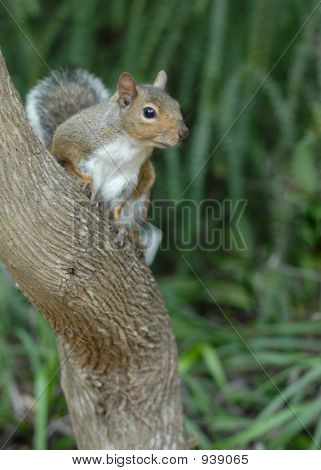 Wild Squirrel On The Tree