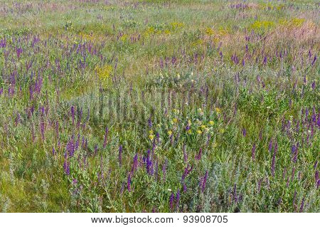 Summer field with wild sage flowers