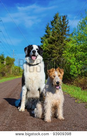 A wire fox terrier and a border collie mix on the trail in rural Prince Edward Island, Canada.