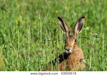 german hare