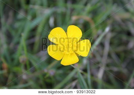 Creeping buttercup or creeping crowfoot (Ranunculus repens)